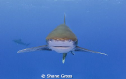 Oceanic Whitetip head on by Shane Gross 